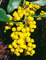 Wattle photo