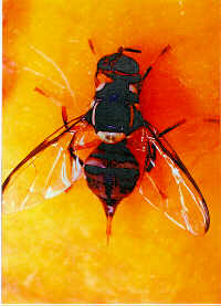 Papaya Fruit Fly photo